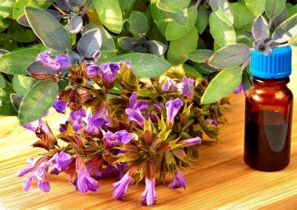 Orvosi zsálya: a növényi aszpirin