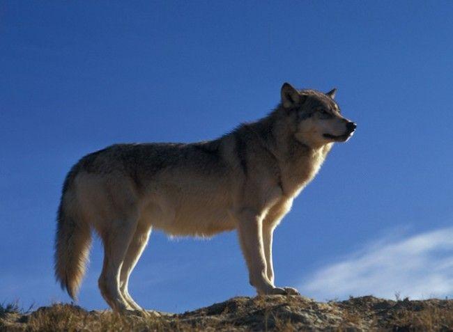 In beeld: wolven in het wild - KnackWeekend.be//- © NPS Net als in Yellowstone werden ook in Glacier National Park wolven teruggebracht in het wild. Ze domineren daar meteen de voedselketen, maar ze hebben de aanwezigheid van andere dieren niet verdrongen. Ze blijken zelfs nuttig. Doordat het aantal coyotes bijvoorbeeld afneemt is er weer meer ruimte voor dieren als de rode vos en de gaffelantilope.