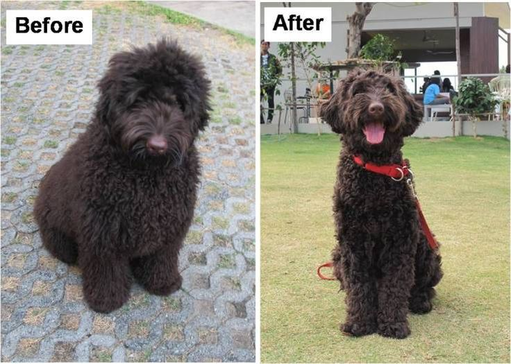 black labradoodle haircuts 1000 images about labradoodle haircut on pinterest