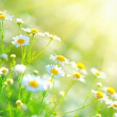 Kamilla - a mindent gyógyító növény
