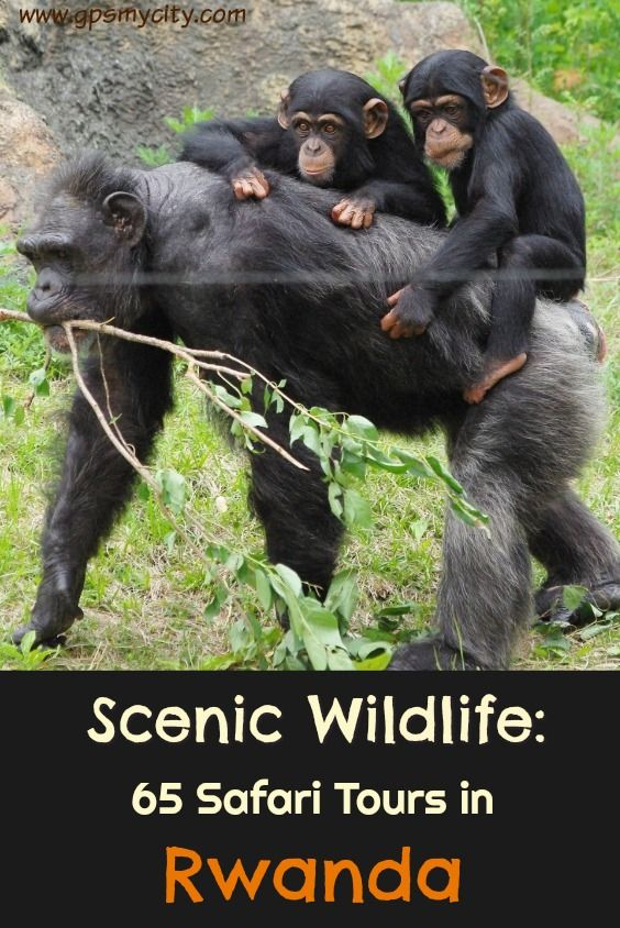 Wildlife Viewing in Rwanda: If a wild thing makes your heart sing and you long for an up-close view of leopard spots and Technicolor-like landscapes caught with your own eyes more than any other form of leisure, then you should give yourself a treat and check out the tours below to explore wildlife waiting to be observed on your next holiday trip.