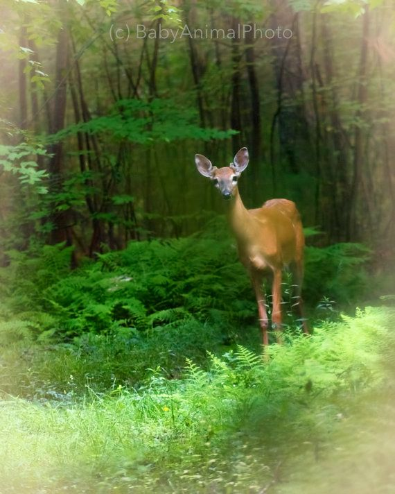 Young Buck - WhiteTail Deer- In Forest Mist - Photo Bo Wayne