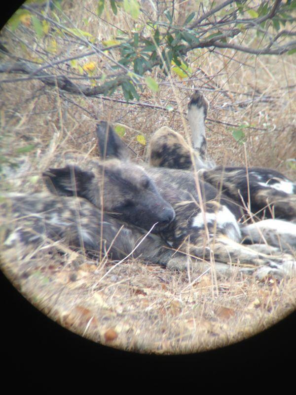 Wilde honden Krugerpark Zuid-Afrika 2013