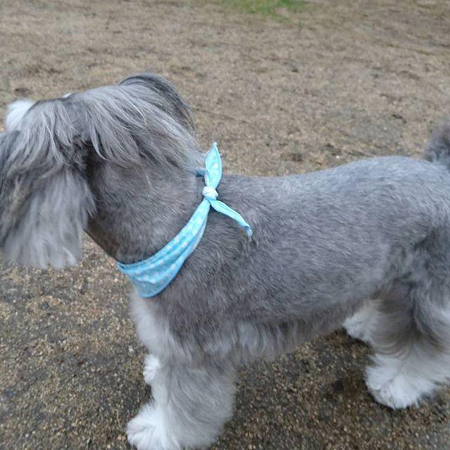 ちょんまげ結えるように、後頭部の毛は残しました。 #grooming #グルーミング #三姉妹犬 #犬 #ドッグ #わんこ #愛犬 #ペット #シュナウザー #シュナ #ミニチュアシュナウザー #ミニシュナウザー #dog #schnauzer #miniatureschnauzer #minnischnauzer #dogstgram #instdog #schnauzerstgram #instschnauzer #pets