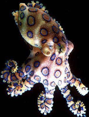 The blue-ringed octopuses (genus Hapalochlaena) are three (or perhaps four) octopus species that live in tide pools and coral reefs in the Pacific and Indian Oceans, from Japan to Australia (mainly around southern New South Wales and South Australia, and northern Western Australia).  This octopus is one of the most venomous animals on the planet.  https://www.facebook.com/somersault1824