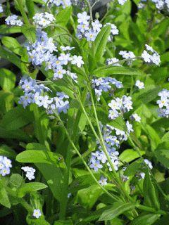 Angelica, i fiori vanno dal blu lavanda dal rosa acceso, il sapore ricorda la liquirizia