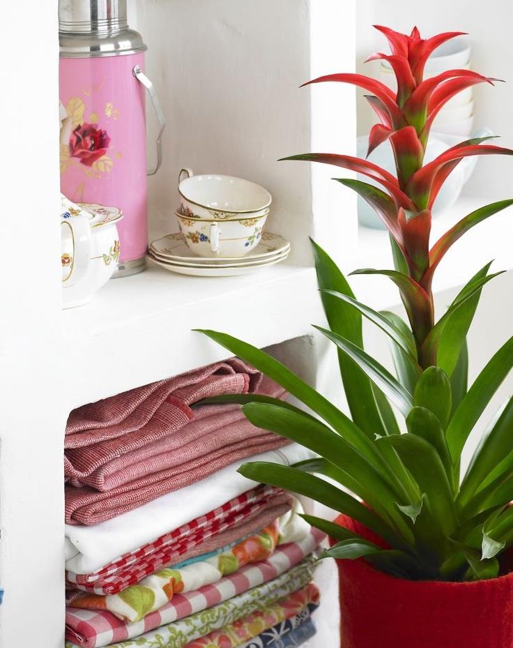 Merveilleux Bromeliad