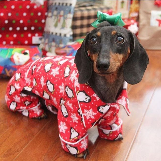 We miss Christmas! #IAmYourPresent #HowManyDays #SausageDogCentral @doxie83