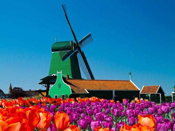 #Molinos y #tulipanes: símbolos de #Ámsterdam. #Viaja a Ámsterdam con #Despegar y recórrelo. #travel #trip #turismo #flowers