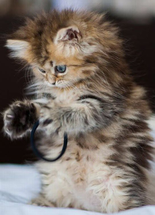 And now it's time for an extremely cute and fluffy kitten...