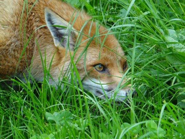 Hiding/hunting fox