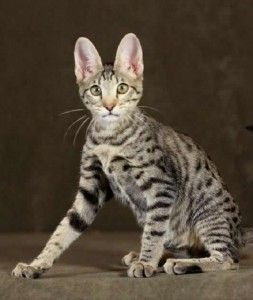 how big do f5 savannah cats get
