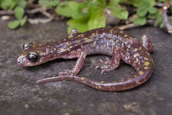 Wild cave salamander from Sardinia, Sardegna, Italy