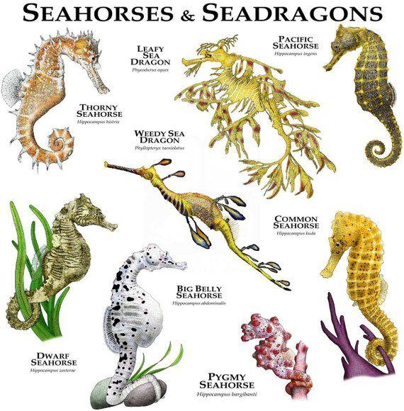 Seahorses Of The World Poster Print Etsy Beautiful Sea Creatures Seahorse Marine Animals