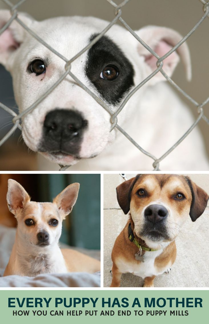 Every Pet Store Puppy Has a Mother - How You Can Help Put and End to Puppy Mills