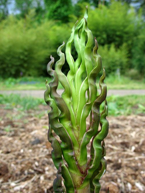"Phyllostachys nigra ""Black Bamboo"", gardening, landscaping, landscape design, garden design, I love bamboo"