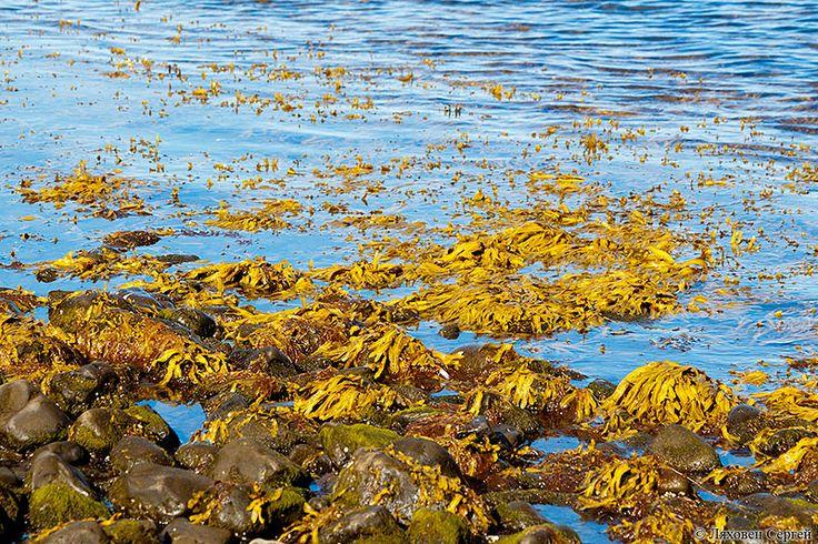Желтые водоросли