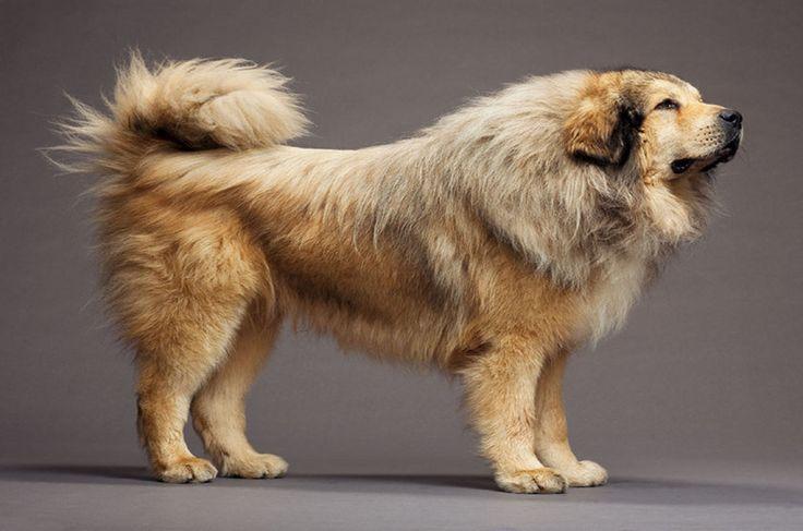 Cachorros:Mastim Tibetano