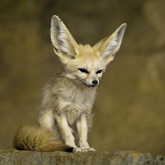 25 best images about africa middle east fennec fox on - Pagina da colorare fennec fox ...