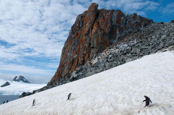 Chinstrap penguins near a lichten covered rock on Half Moon Island, Antarctica