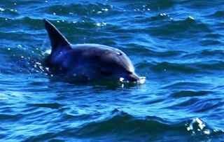 Dolphin in Plettenberg Bay waters.