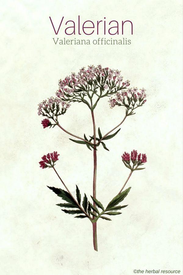 valerian herb valeriana officinalis