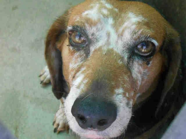 Lovables: URGENT!*SENIOR ALERT* - ELVIS Pet ID: A0918157   Sex: N  Age: 12 Years  Color: TRICOLOR   Breed: BEAGLE   Kennel: 271  www.ocpetinfo.com. OC Animal Care. 561 The City Drive South, Orange, CA. 92868 Telephone: 714.935.6848  https://www.facebook.com/photo.php?fbid=10153910141670223&set=a.10151287465740223.802367.315830505222&type=3&theater
