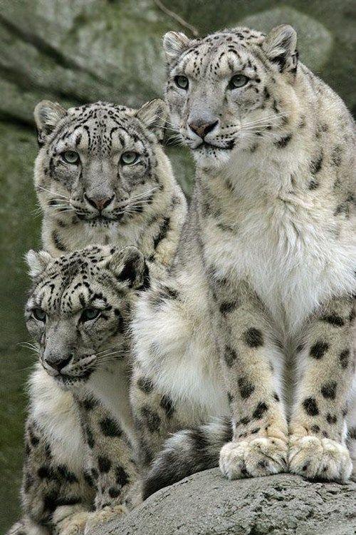 images of snow leopards | Snow Leopard Family - Cheezburger