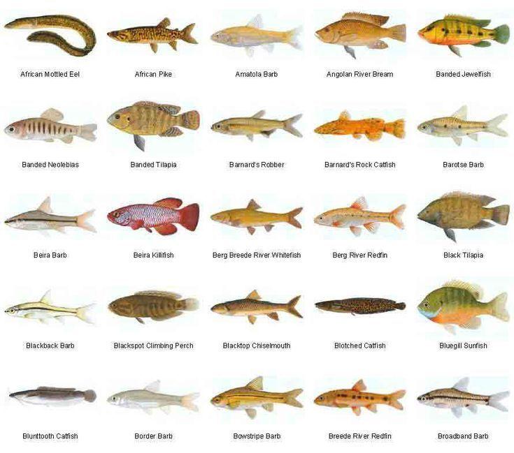 Freshwater Fish Species For Aquariums Aquariumfreshwaterfishanimals Freshwater Aquarium Aquarium Fish Freshwater Aquarium Fish