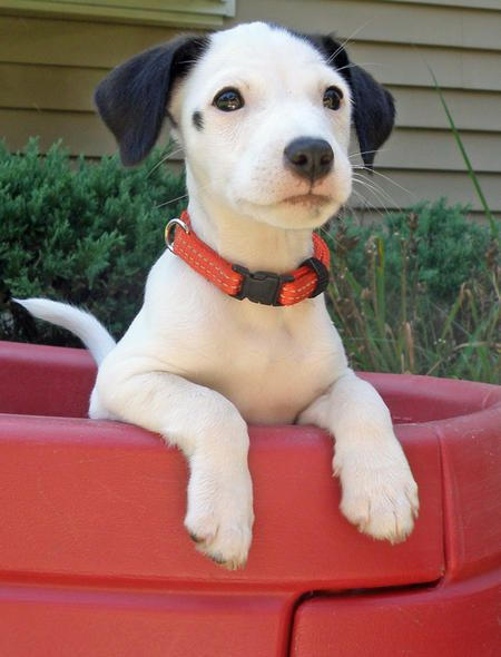 Jack Russell Mixf: Lucky, I thought of you when I saw his adorable little face!