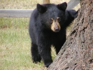 A 20-year ban on hunting black bears may end in response to an increased number of bear attacks. Human encroachment and habitat loss have led the bears to seek food in developed areas, and as a result the number of attacks has increased. Urge the Florida Fish and Wildlife Conservation Commission not to scrap the hunting ban.