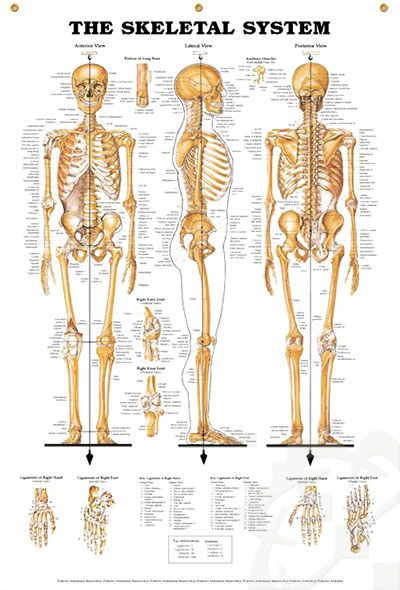 Skeletal System Enlarged anatomy poster giant 5-foot poster presents anterior, lateral and posterior views of the human skeletal system. Skeleton chart for doctors and nurses.
