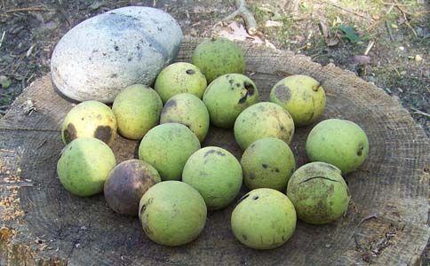 Black Walnut DyeWalnut Trees, Walnut Green, Nature Black, Email Newsletter, Walnut Dyes, Nature Dyes, Black Walnut
