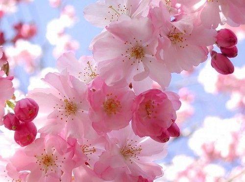 Cherry blossoms!