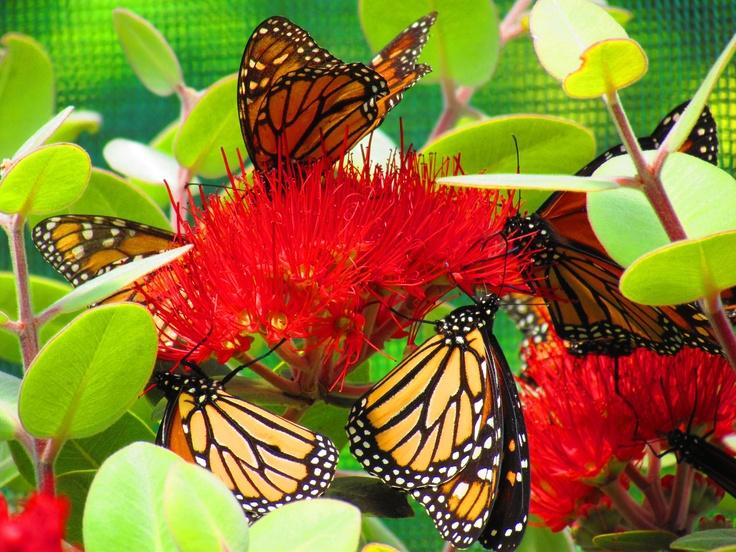Monarch Butterflies. March 2012. Photo by Sophia Egan-Reid.