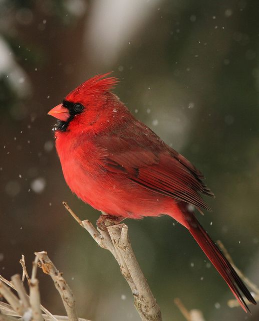 Cardinals are the most frequent visitors to our bird seed feeders. Must be the sunflower seeds we put out year-round!