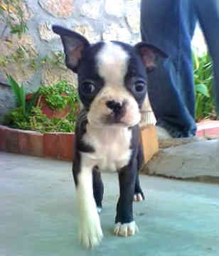 Miniature Boston Terrier Puppy Here is why I PawSitively love Boston Terrier