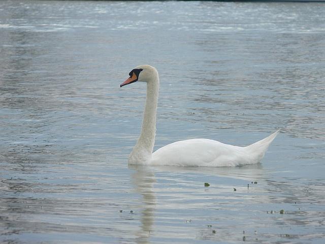 Hattyú / Swan, Siófok, Balaton (P1030403)     Siófok,