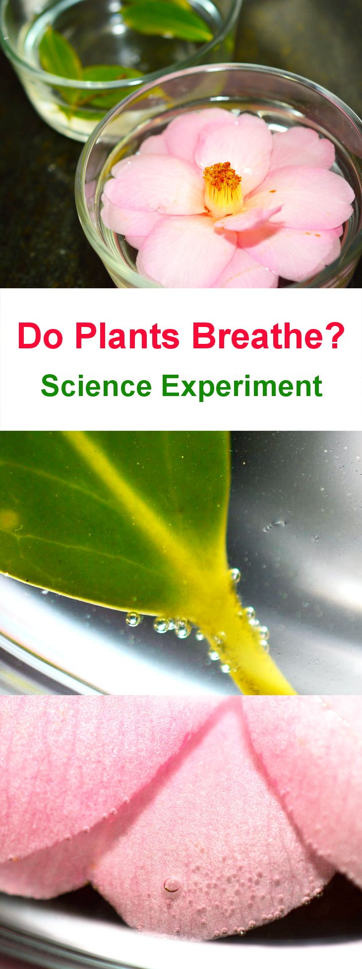 """Do Plants Breathe? Science Experiment. """"See"""" how flowers and leaves breathe!"""