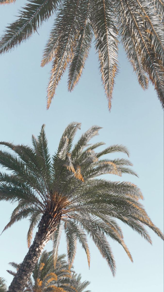 Aesthetic Backgrounds Palm Tree Iphone Wallpaper Palm Tree Background Palm Tree Photography