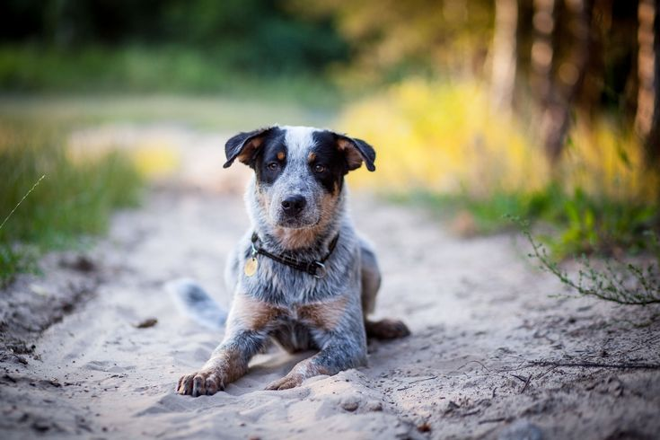 Ever - cattle dog puppy - null