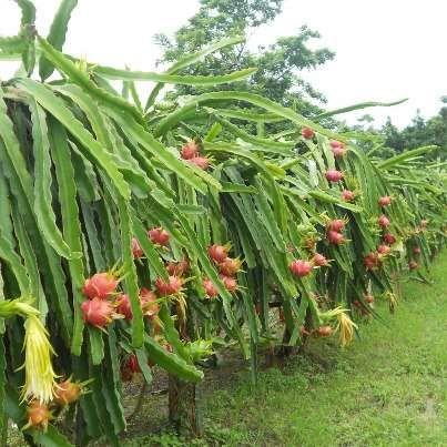 Pitahaya venta de plantas pitahaya roja dragon fruit for Donde venden cactus