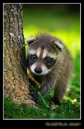 baby-raccoon | Raccoon | Baby raccoon, Cute wild animals ...