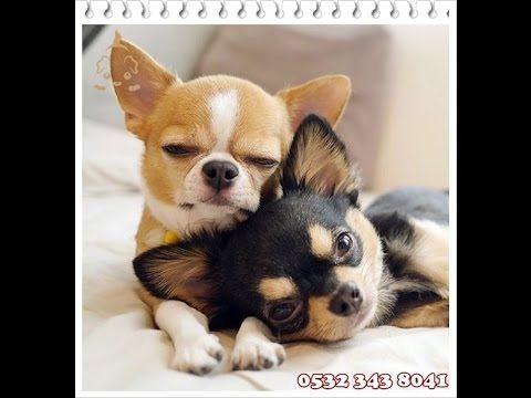 """Chihuahua Teacup 05323438041  CHİHUAHUA TEACUP  0532 343 8041 http://www.suskopegi.com/chihuahua.htm Süs Köpekleri  İthal Teacup Chihuahua Yavruları, Chihuahua elma biçimli kafası ve küçük çıkık burnu ile ufak bir köpektir. Chihuahua, yuvarlak, büyük ve çok koyu bazen de koyu kızıl kahve ve açık sarımsı renkte gözleri vardır. Chihuahua ırkının ayırt edici özelliği olan kulakları dik taşınır. Chihuahua yavruların kafa taslarında yumuşak nokta veya """"molera"""" bulunur. Bu boşluk erişkinliğe…"""
