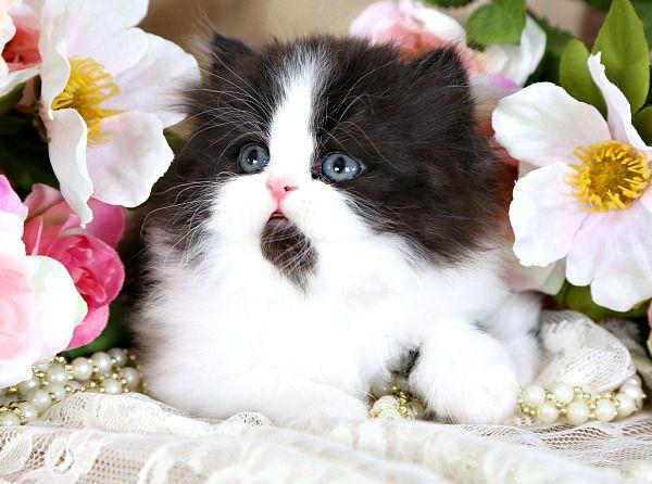 14005561642_808cbc0ec9_o http://dollfacepersiankittens.com/colors/black-white-bi-color-kittens/