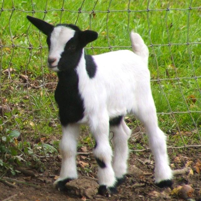 Fainting Goat...I  LOVE THEM !!!