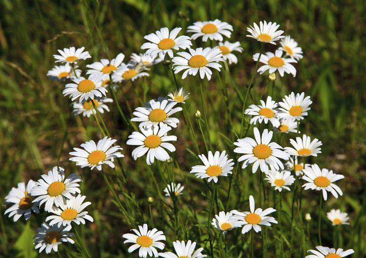 Dividing Shasta daisy plants is an excellent way to spread beauty and ensure that the good natured plants thrive in every corner of your landscape. When can I divide Shasta daisies? This common question has a simple answer, and this article will help.