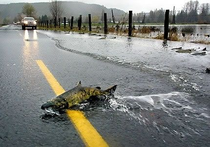 A large male chum salmon is attempting to cross a flooded roadway in the lower Skokomish valley.
