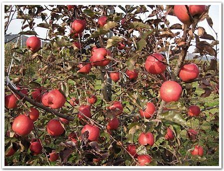 ピンクレディー(Pink Lady)信州では11月に収穫され、翌年まで販売される、ほどよい酸味と甘味のバランスのよいりんごの品種。オーストラリア西オーストラリア州のマンジマップという町の州立の試験場で「レディーウイリアムス」と「ゴールデンデリシャス」というりんごを交配して生まれ、正規の品種名は「クリプスピンク」といい「ピンクレディー」は世界共通の商標名です。