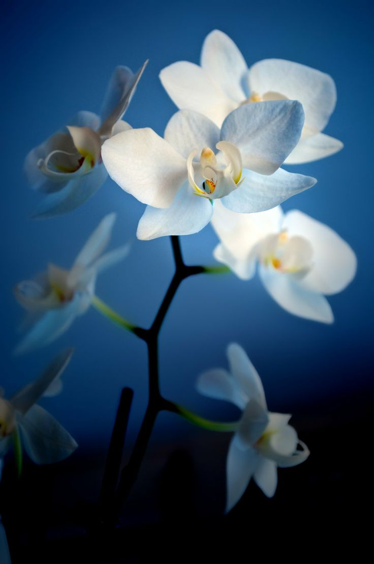 Blue Orchid Plants for Sale | ... , Plants & Nature / Flowers, Trees & Plants ©2010-2013 ~ baboooo